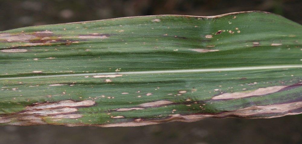 Żółta plamistość liści kukurydzy – jak sobie znią radzić?