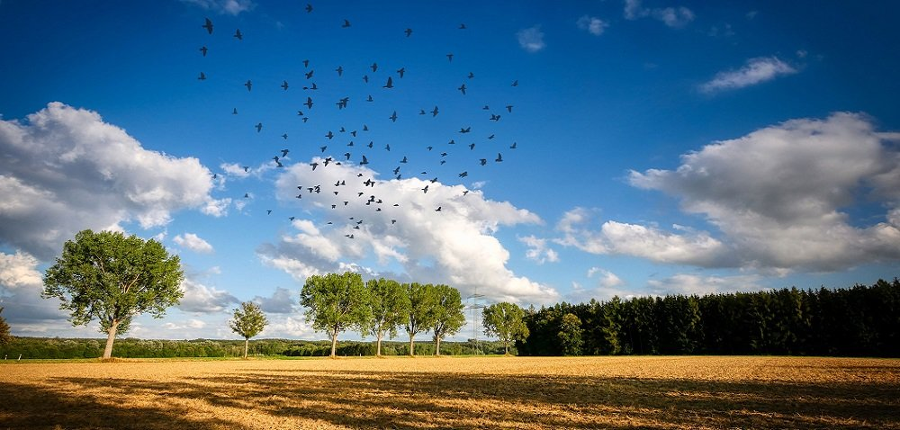 Ptaki na polu. Czy będą odszkodowania za wyrządzone straty?