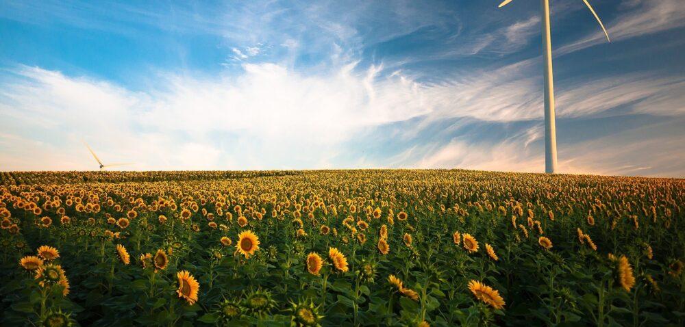Uprawa słonecznika wPolsce zostanie ujęta wfunduszu promocji?