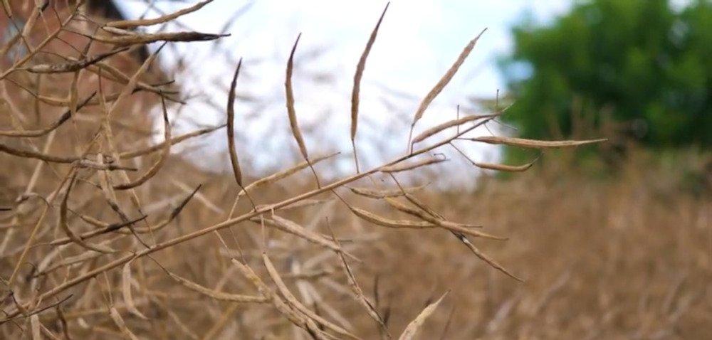 Poznaj opinię rolnika oodmianie rzepaku ozimego – LG Architect