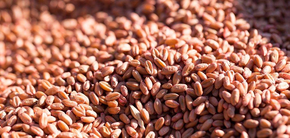 Systiva dla ochrony zbóż ozimych przed chorobami