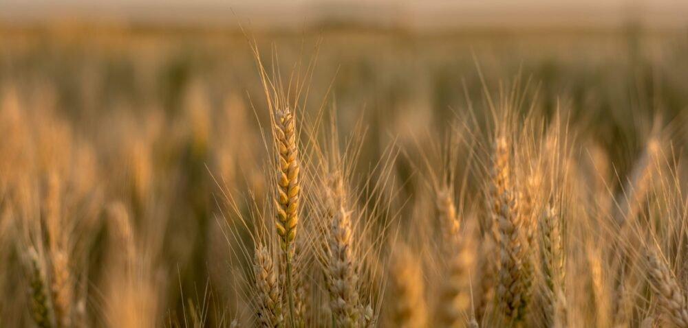 Prognozy zbiorów zbóż 2021- czego się spodziewać? Sprawdź!
