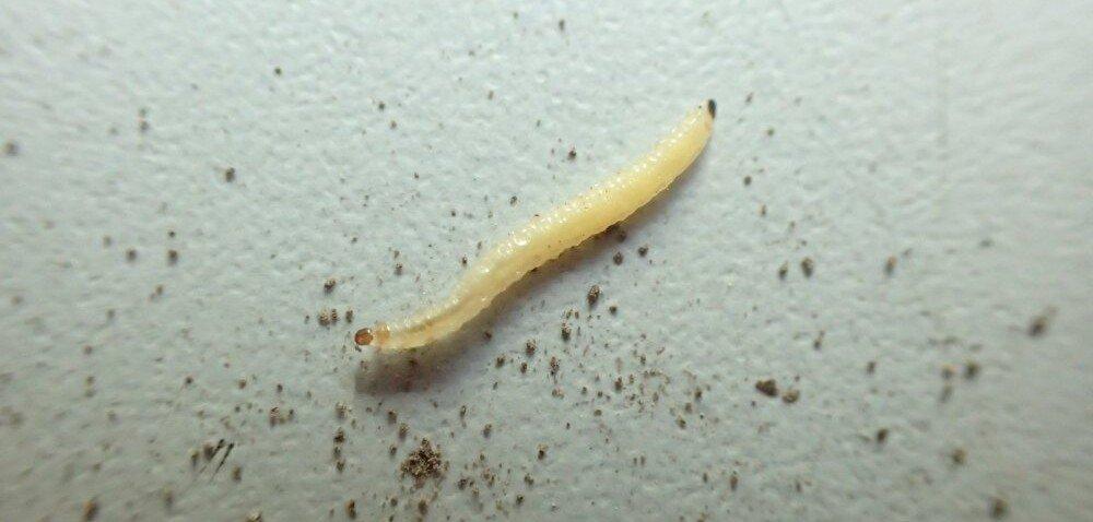 Stonka kukurydziana – jak przeprowadzić zwalczanie szkodnika?
