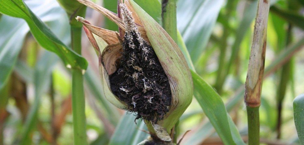 Głownia pyląca kukurydzy – zwalczanie. Dowiedz się więcej!