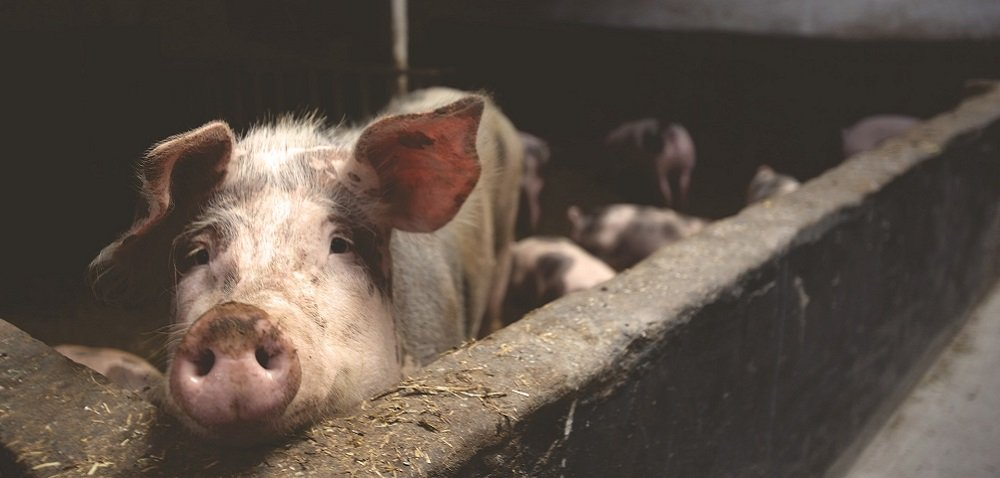 Sytuacja na rynku świń staje się coraz trudniejsza – dowiedz się więcej