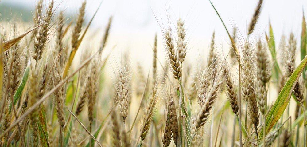 Prawidłowa ochrona zbóż ważna już na samym początku sezonu wegetacyjnego!