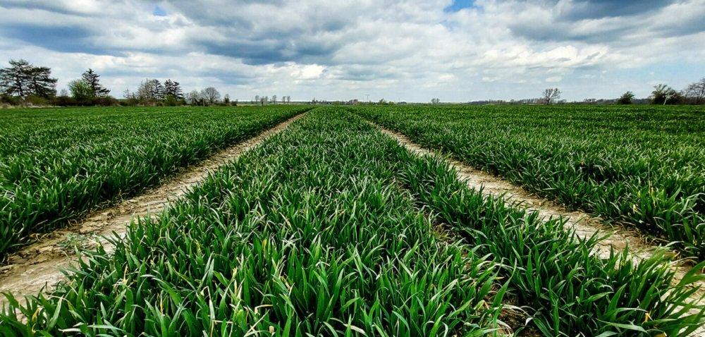Zaprawy do pszenicy – na co zwrócić uwagę przy wyborze?