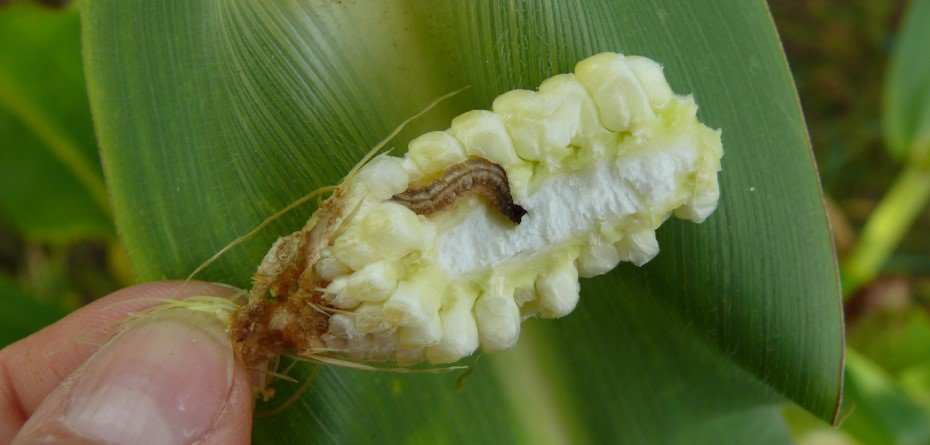 Omacnica prosowianka po zbiorze kukurydzy – kultywatorem na szkodnika