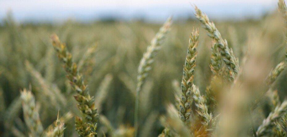 IS Dimenzio – odmiana pszenicy ozimej odporna na wirozy