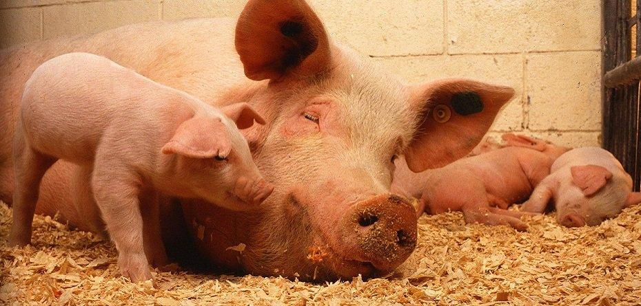 ASF aceny. Sieci handlowe kupią wieprzowinę zczerwonych stref?