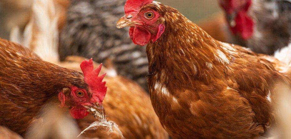 Odszkodowania za ptasią grypę. Hodowcy mogą składać deklaracje strat