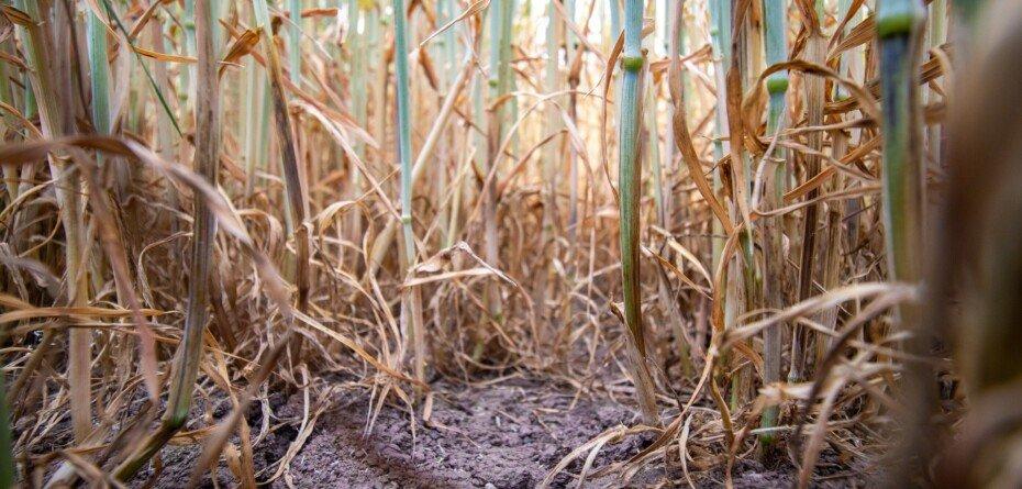 Protokoły suszowe 2021 gotowe do wygenerowania przez rolników