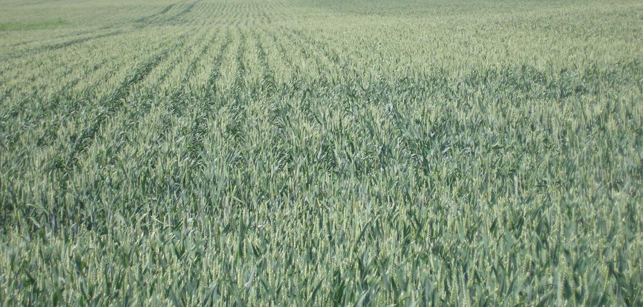 Koszty produkcji pszenicy. Czy jest sens robić kalkulacje?