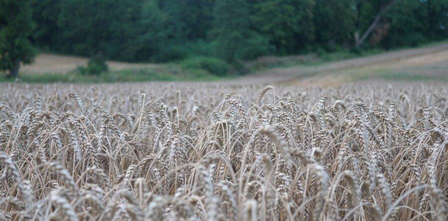 Odmiana RGT Treffer – pszenica ozima owysokiej tolerancji!