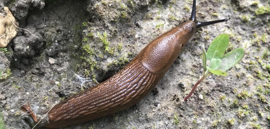 Środek na ślimaki, czyli konieczna ochrona rzepaku