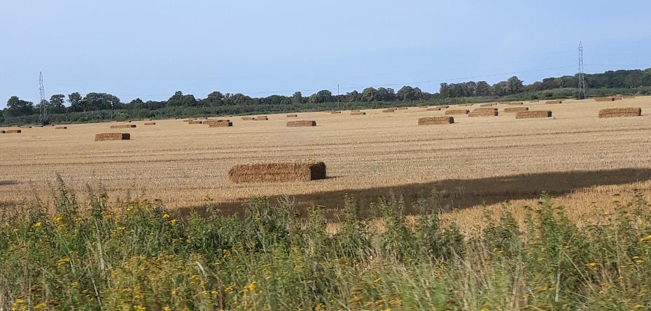 Żniwa zbożowe 2021. Dobre ceny zrekompensują słabą jakość ziarna?