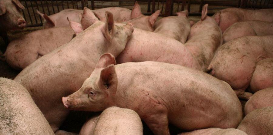 Żywienie świń na mokro, czy na sucho, czy jeszcze inaczej?